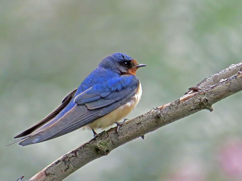 Barn Swallow 1500 5-6-2015 092P.jpg