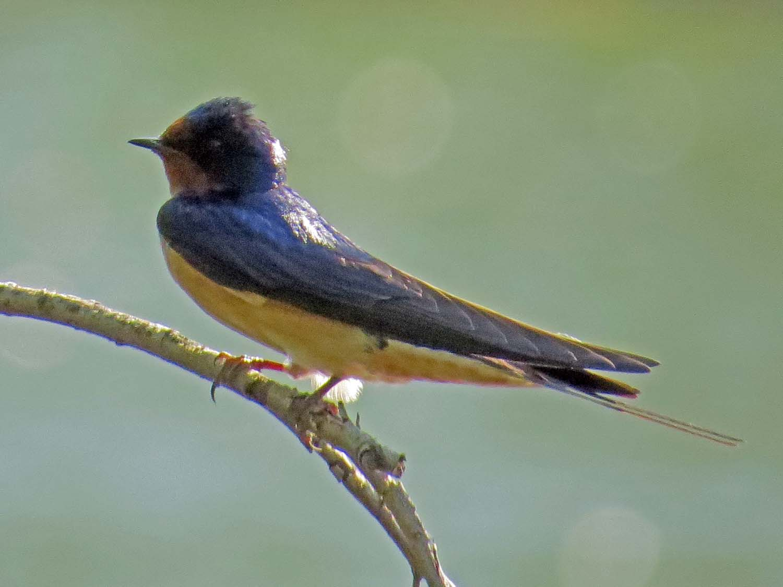 Barn Swallow 1500 5-8-2015 066P.jpg