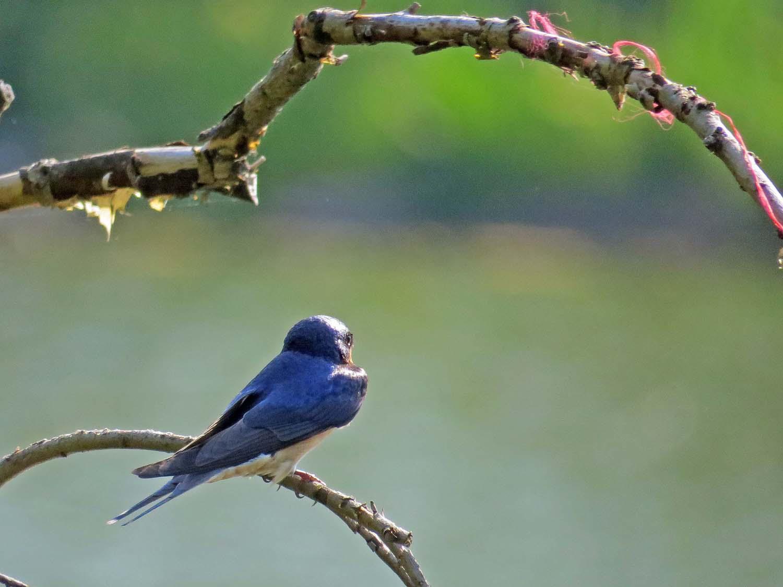 Barn Swallow 1500 5-8-2015 067P.jpg