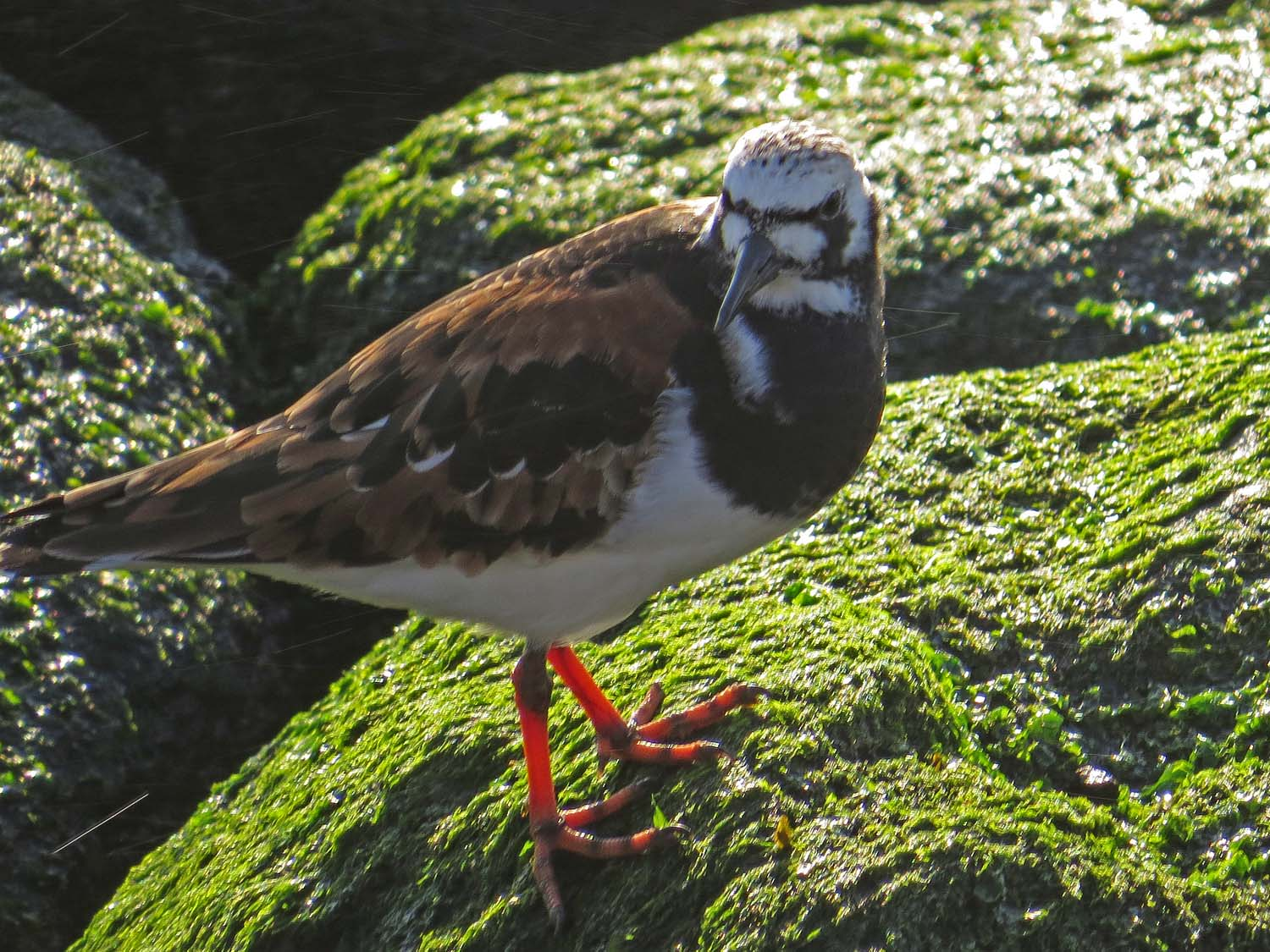 Ruddy turnstone, May 14, Rockaway Tribute Park