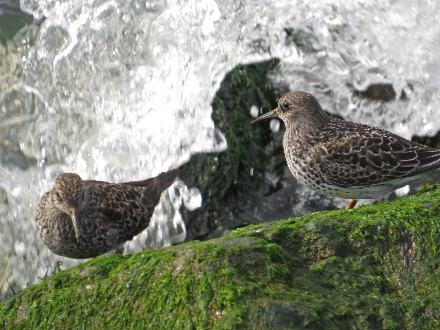 Purple sandpipers, Governors Island, May 12, 2017