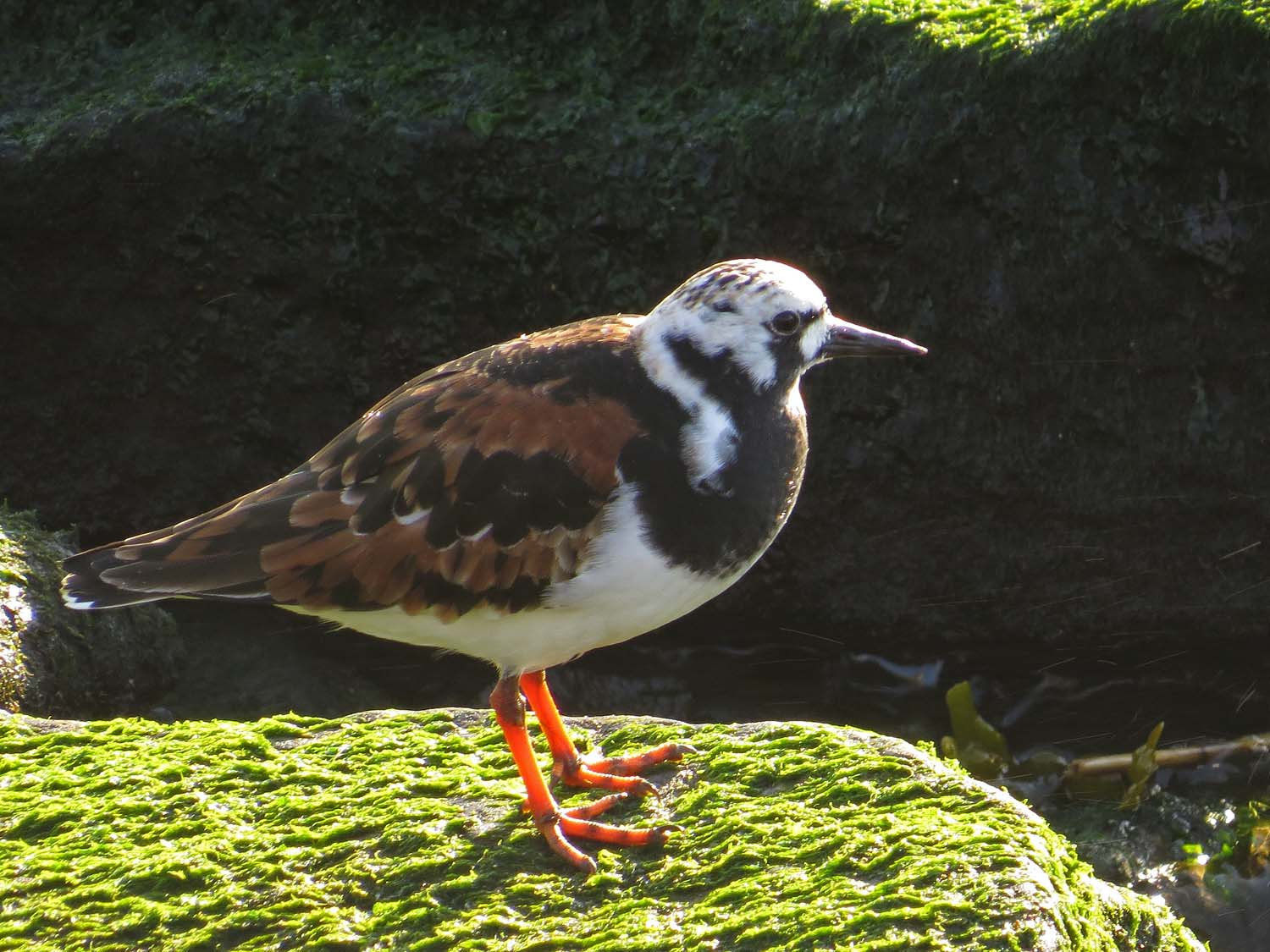 Ruddy turnstone, the Rockaways, May 14, 2017