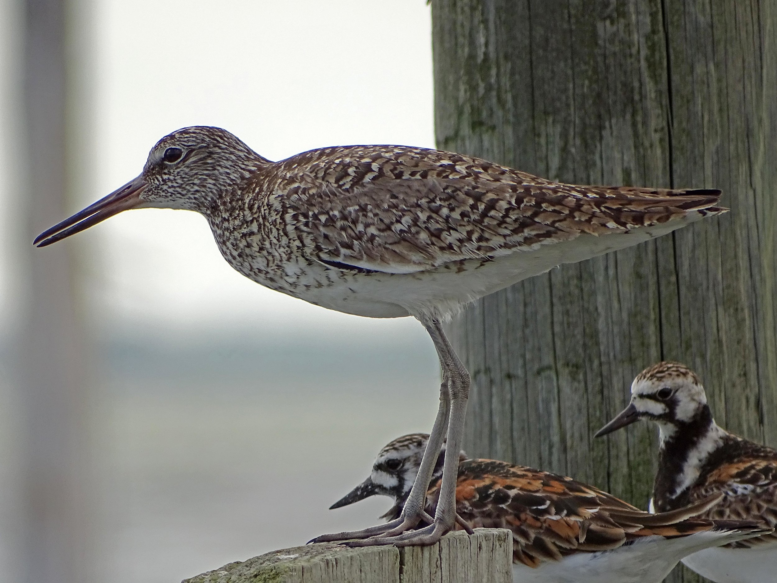 A willet with ruddy turnstones, June 1, Broad Channel Park, Jamaica Bay.