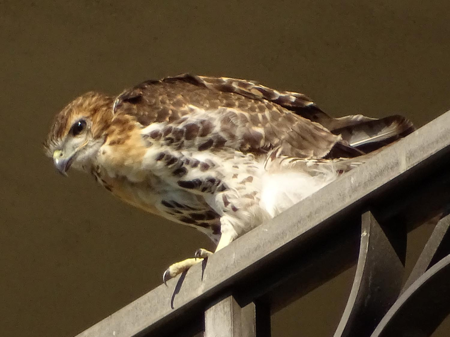 The second to fledge, on a balcony