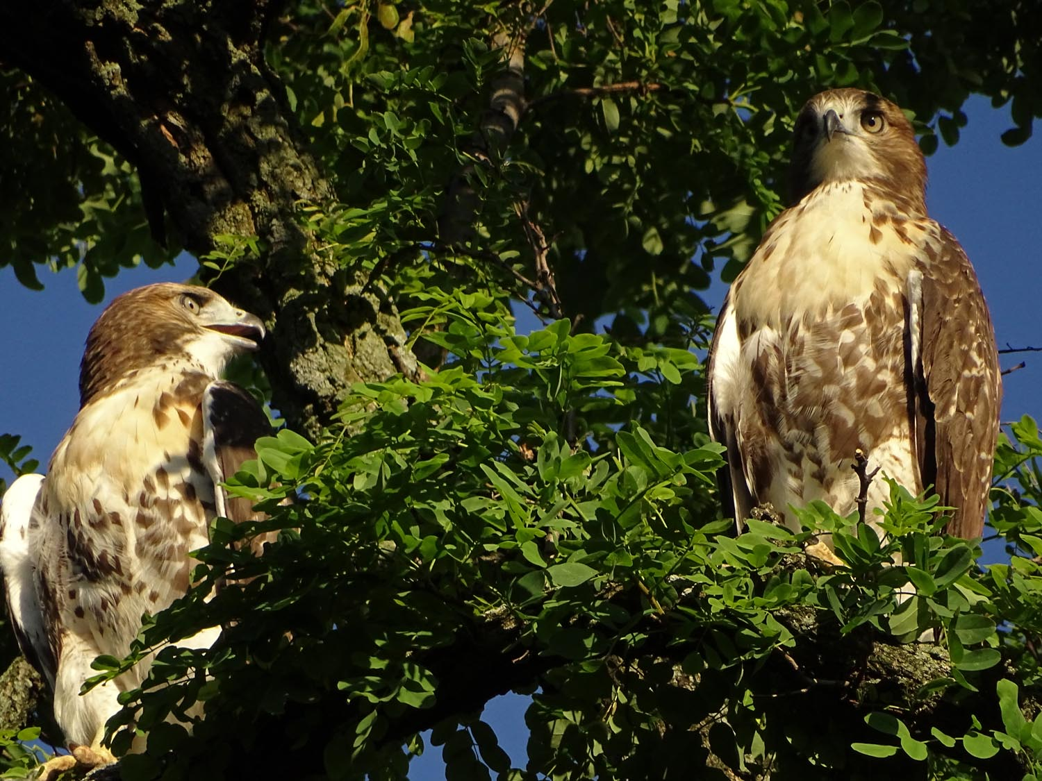 Two fledglings wait for Mrs. Grant to feed them just south of Claremont Playground, June 24, 2017.