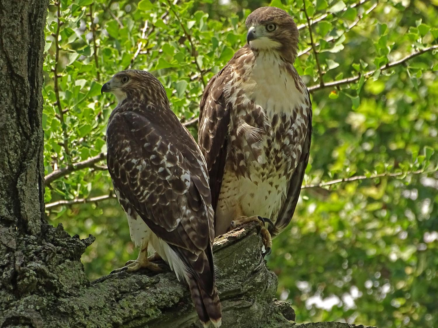 Two hawk siblings near Claremont Playground, June 27