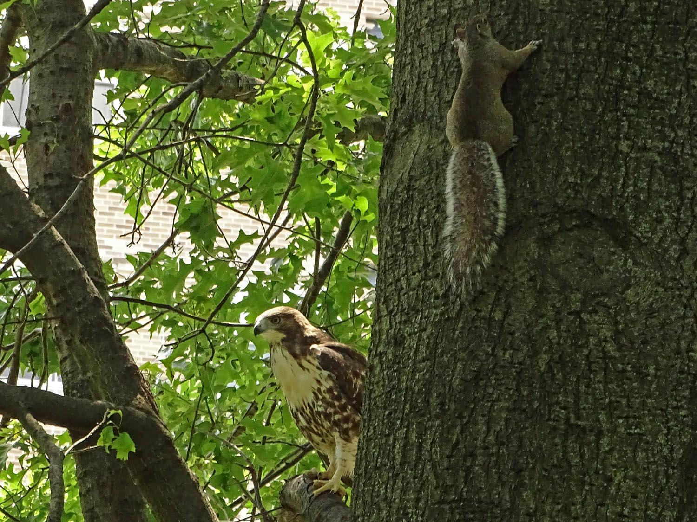 Baby hawk vs. squirrel. The squirrel won.