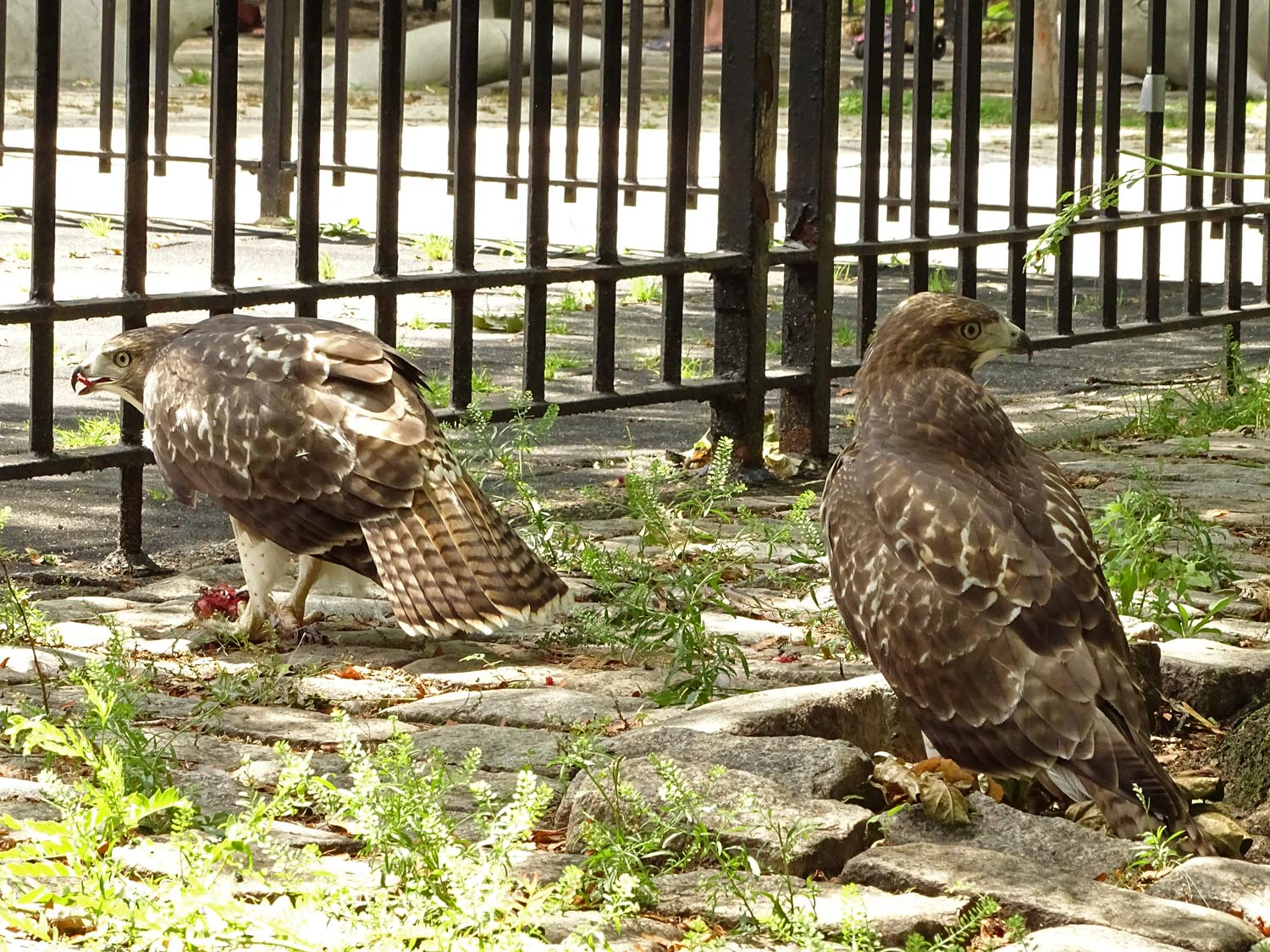 Two hawk babies, one pigeon. The stuff of drama. June 28, 2017