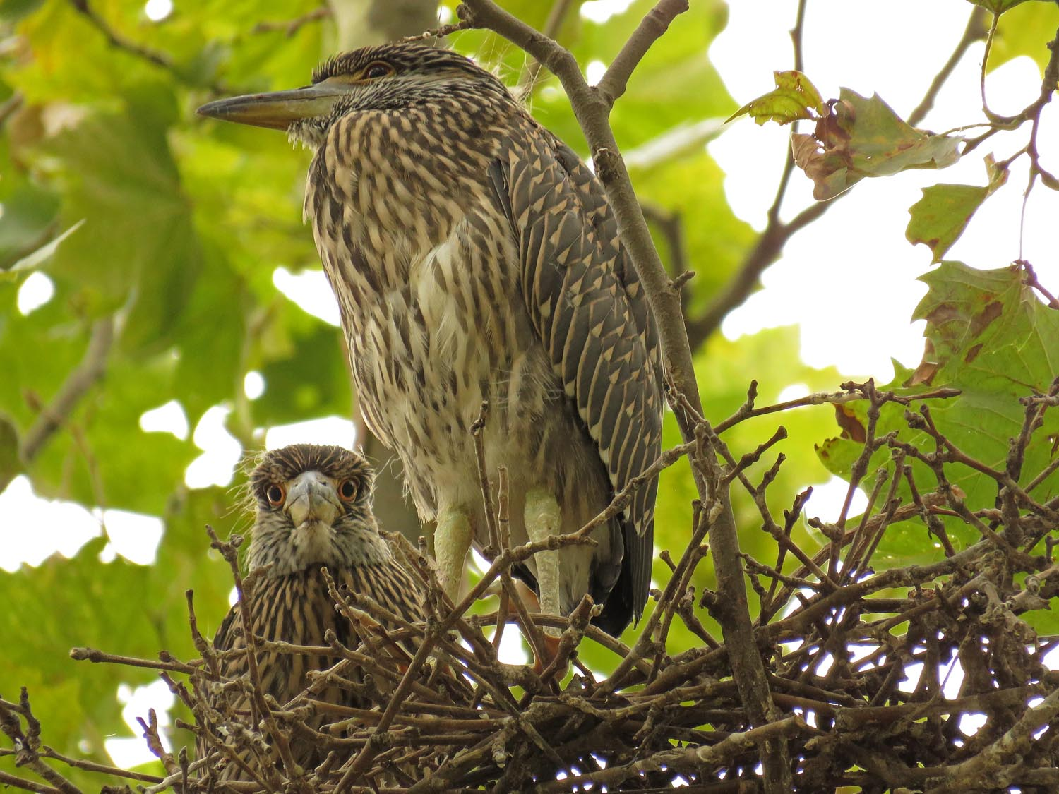 Yellow-crowned night heron youngsters, Governors Island, Aug. 6