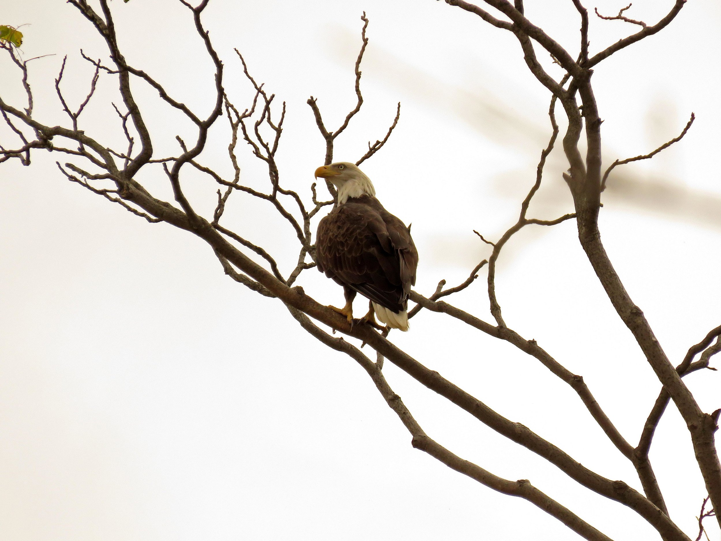 Adult bald eagle, Staten Island, Aug. 25, 2017