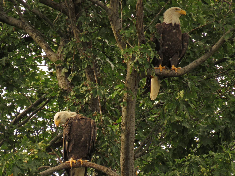 Adult bald eagle couple, Staten Island, Aug. 25, 2017