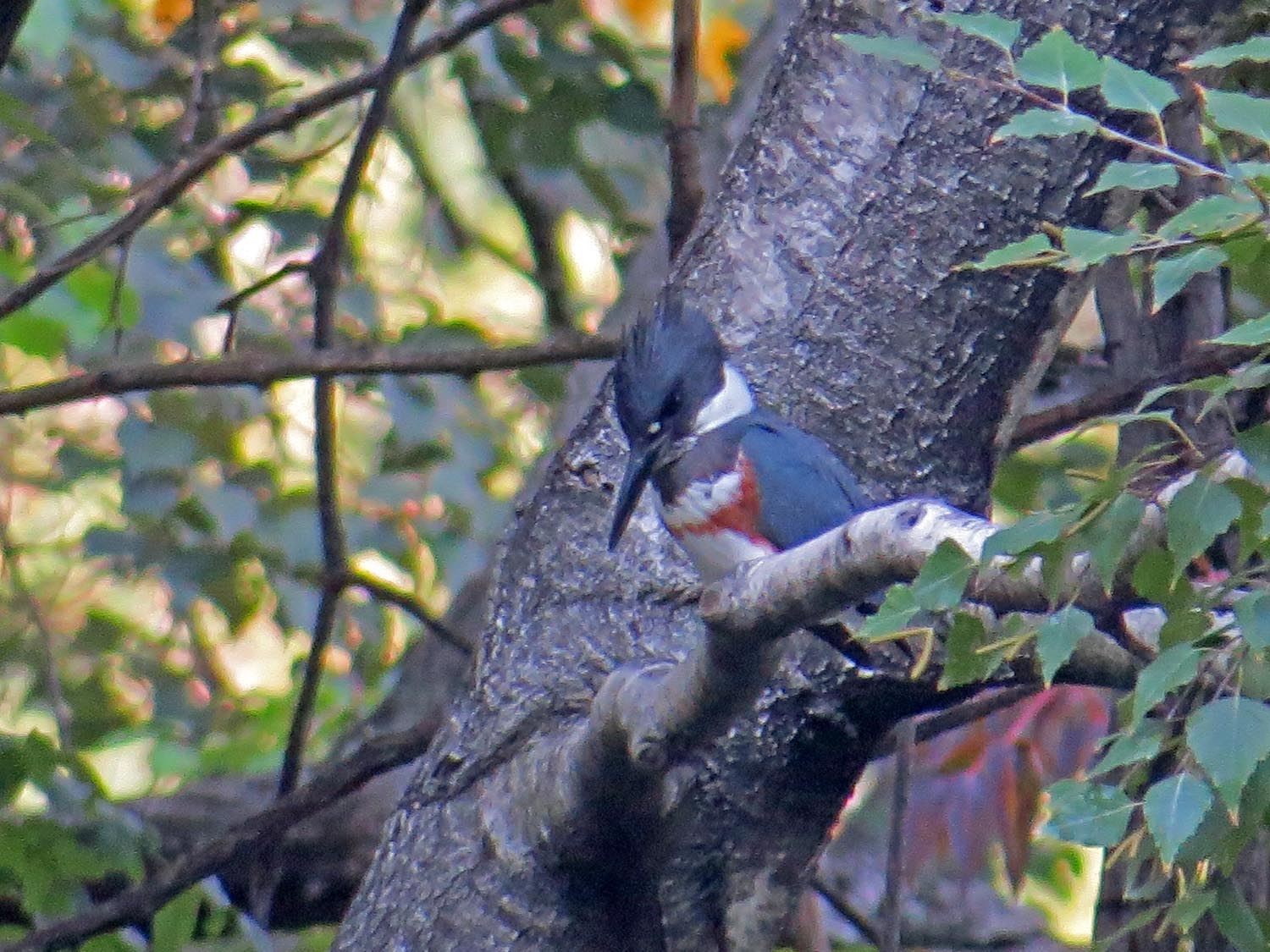 Female belted kingfisher, the Pond, Central Park, October 13, 2015