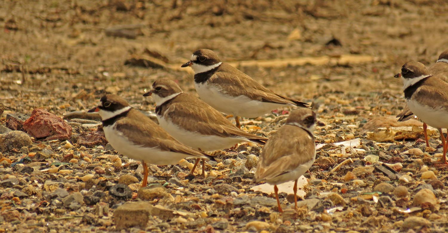 Semipalmated plovers at Broad Channel American Park, August 28, 2017