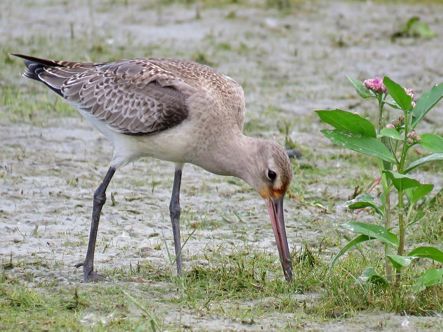 Hudsonian godwit, Jamaica Bay Wildlife Refuge, October 11