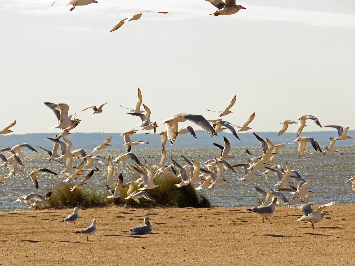 Flying terns and gulls, Midland Beach, October 31, 2017