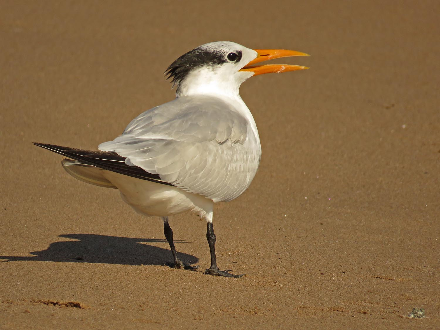 Royal tern, Midland Beach, Staten Island, November 2