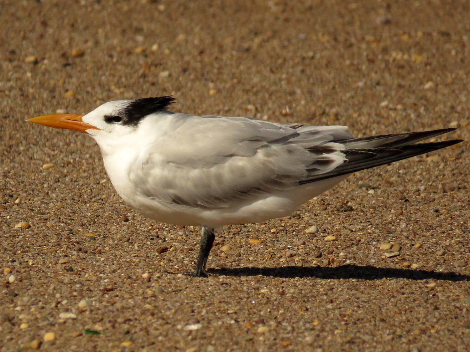 Royal tern, Midland Beach, October 31
