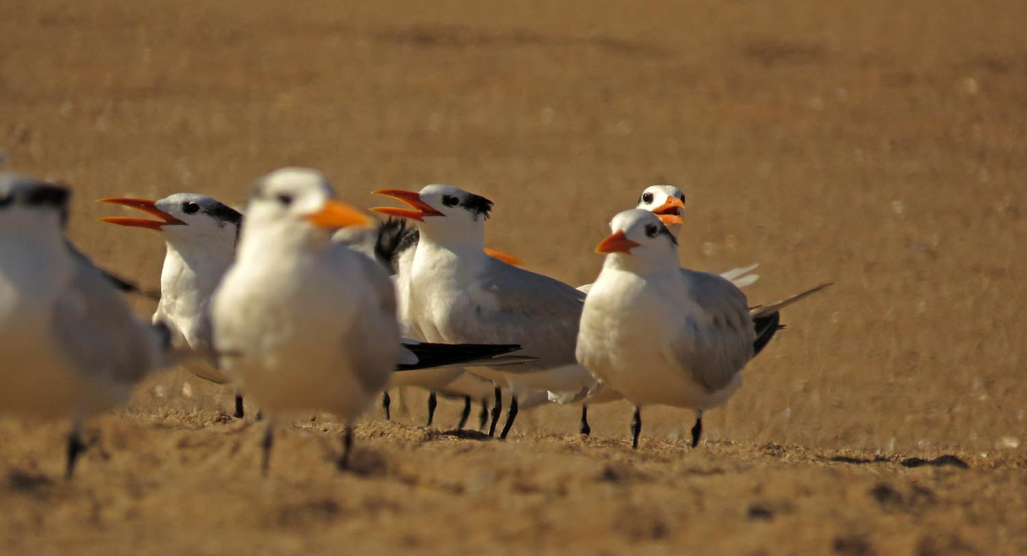 Royal terns on Midland Beach, November 2