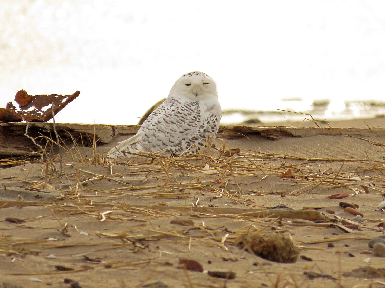 Snowy owl, Staten Island, December 20, 2017