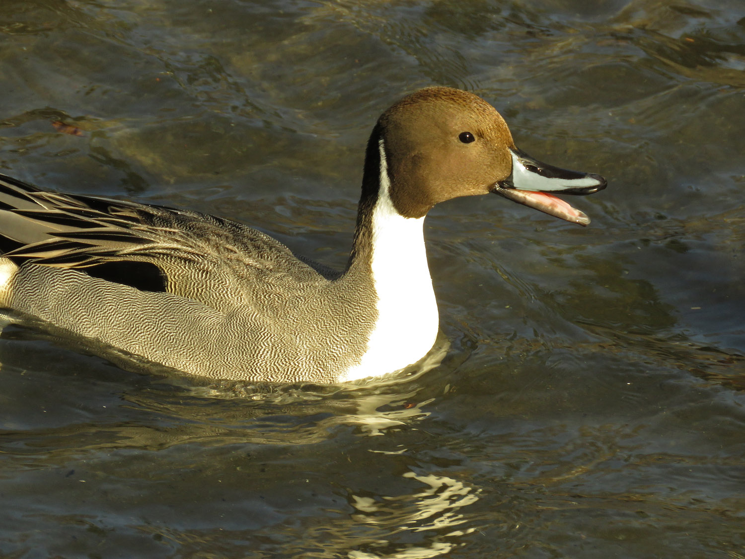 Northern pintail (Pinny) at the Pond, Jan. 9