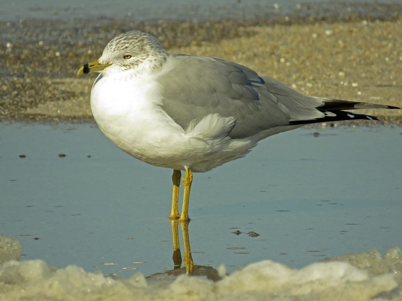 Ring-billed gull, Floyd Bennett Field, Jan. 10