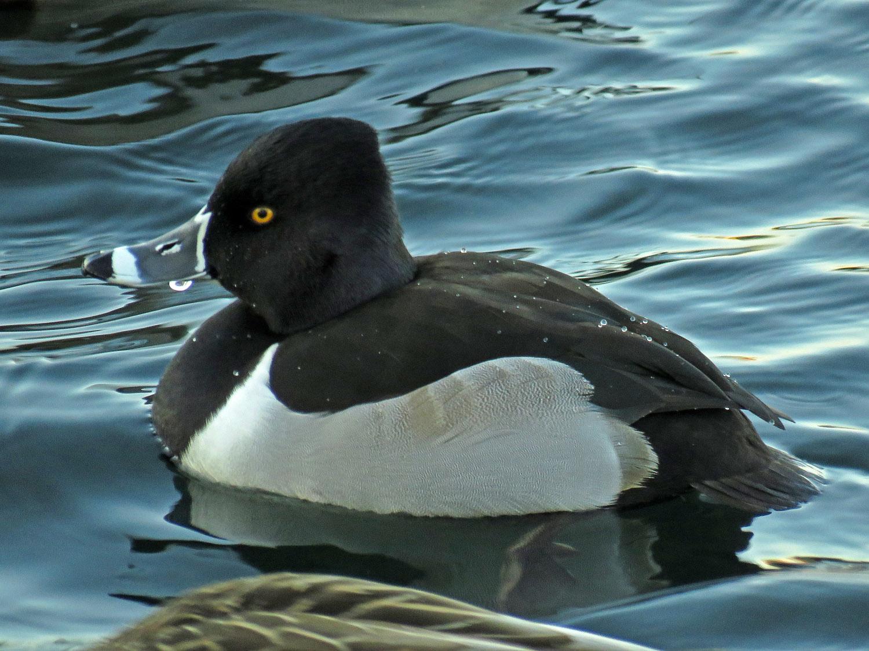 Ring-necked duck on the Reservoir, Jan. 9
