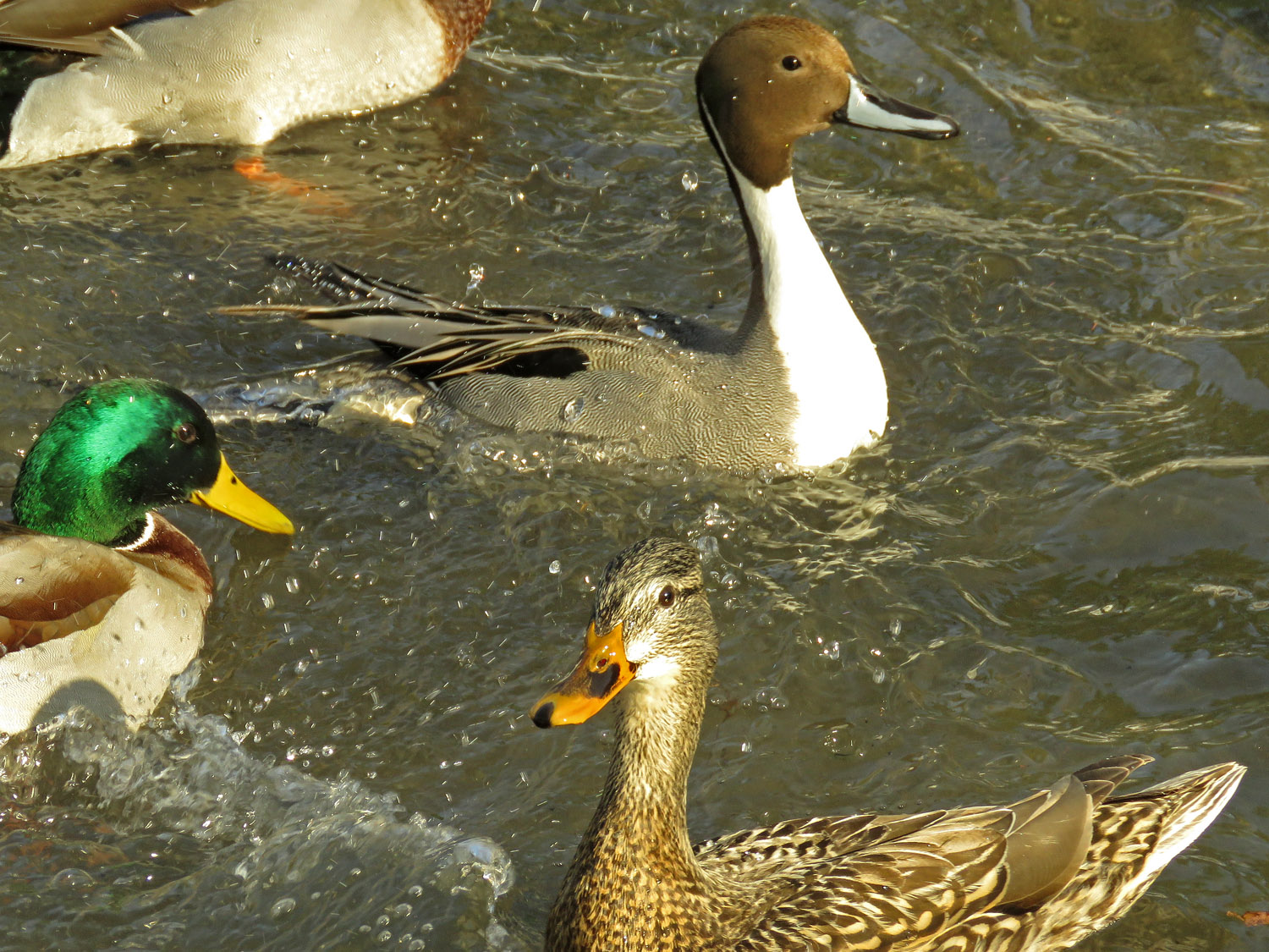 Northern pintail and mallards, the Pond, Jan. 9
