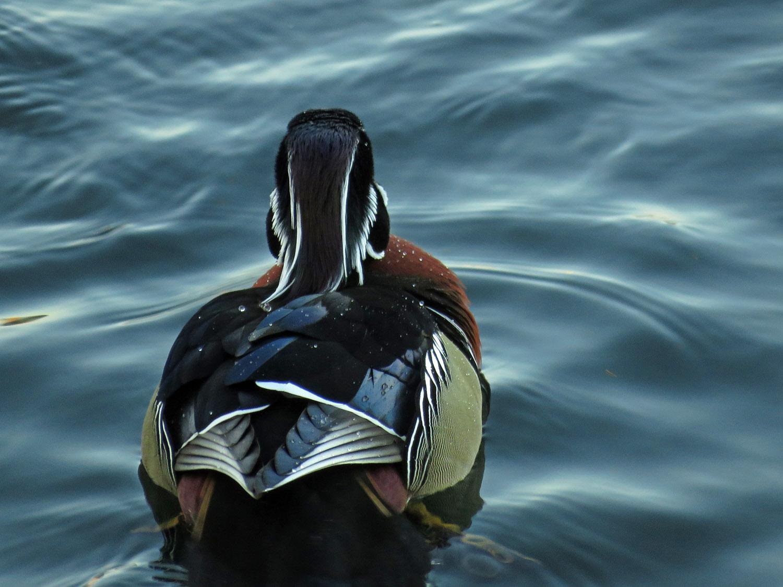 Ducks 1500 1-9-2018 149P.jpg