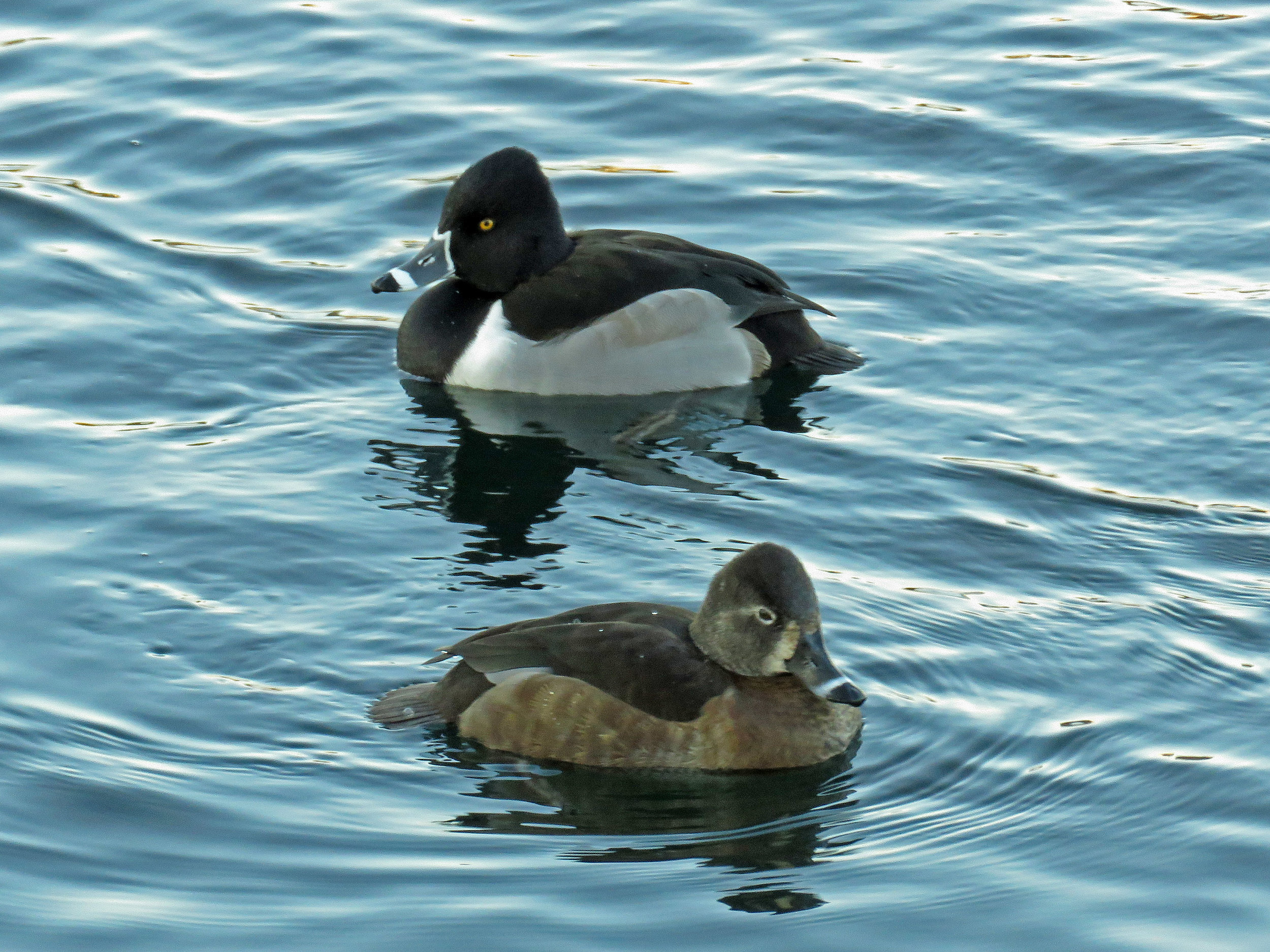 Male (top) and female ring-necked ducks, the Reservoir, Jan. 9, 2018