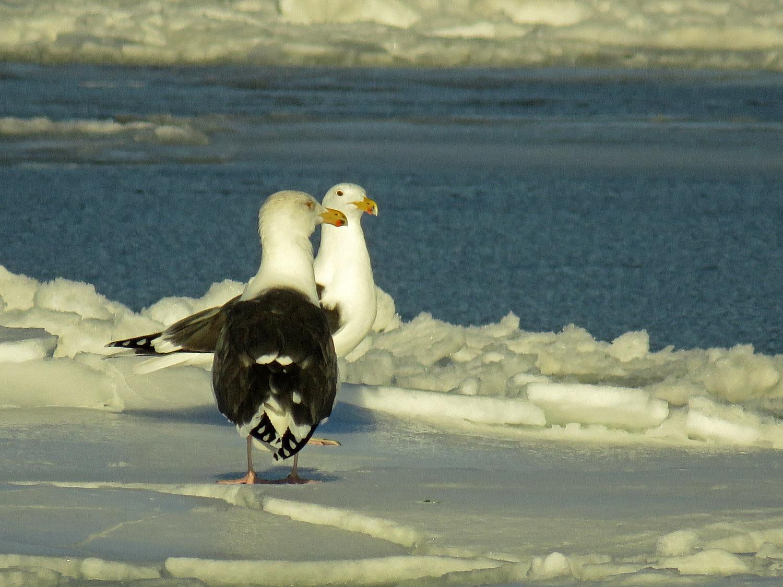 Great black-backed gulls, Floyd Bennett Field, Jan. 10, 2018