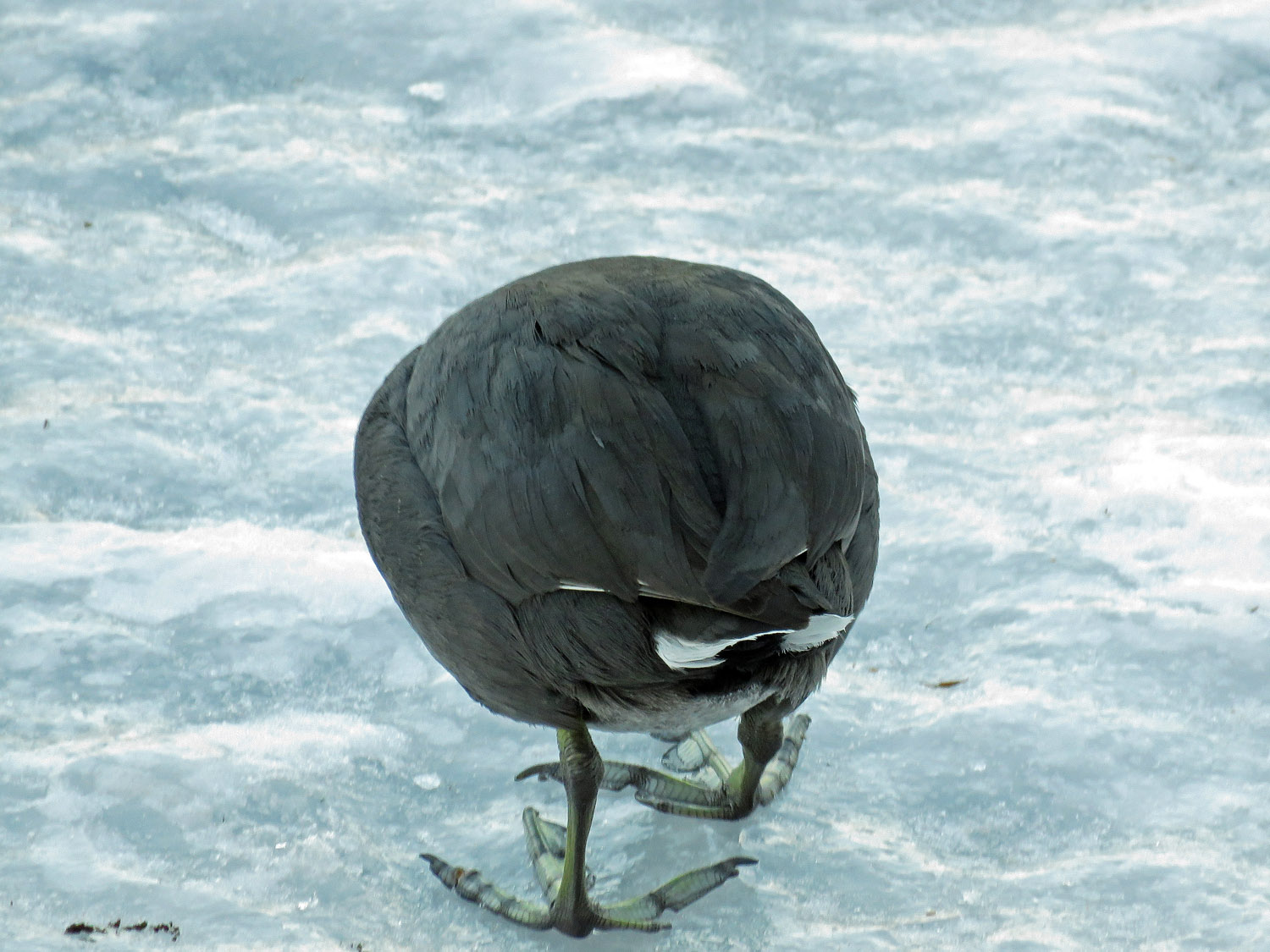 A coot's behind, showing those strange feet