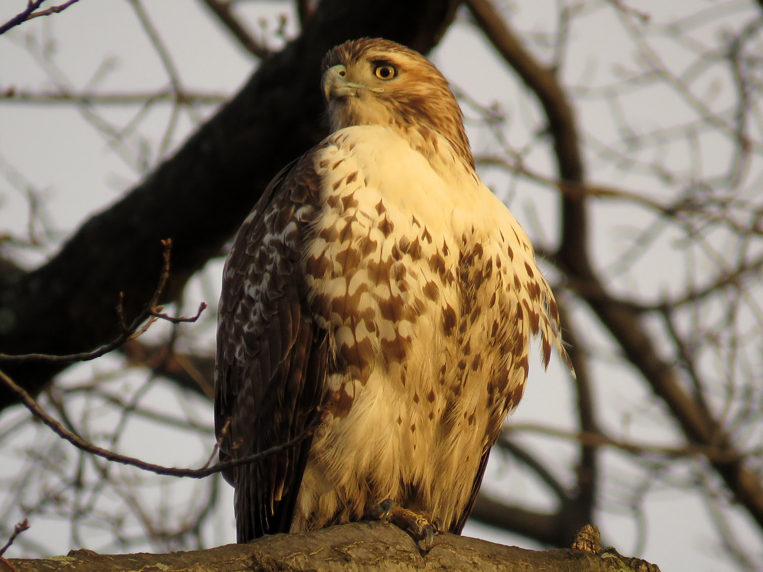 Victoria, the victorious juvenile hawk after the Battle of Bethesda Fountain, December 24, 2017