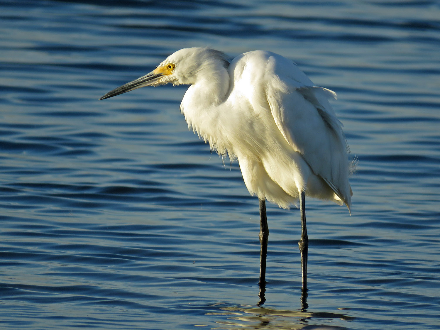 Snowy egret, October 19, 2017, Jamaica Bay Wildlife Refuge