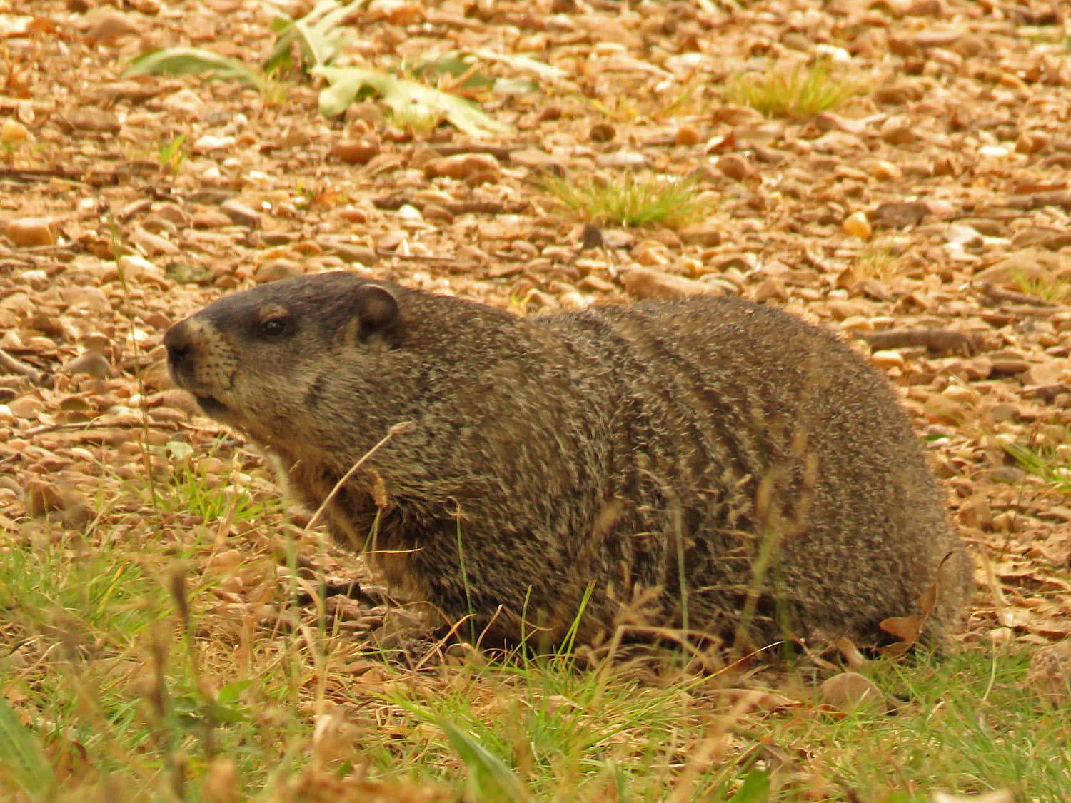 Groundhog, or woodchuck, Wolfe's Pond, September 21, 2017