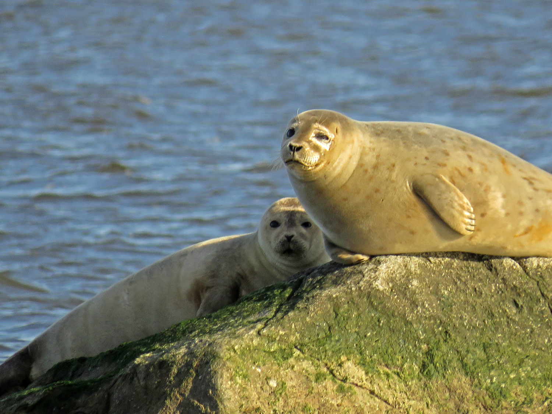 Harbor seals, Staten Island, January 31, 2018