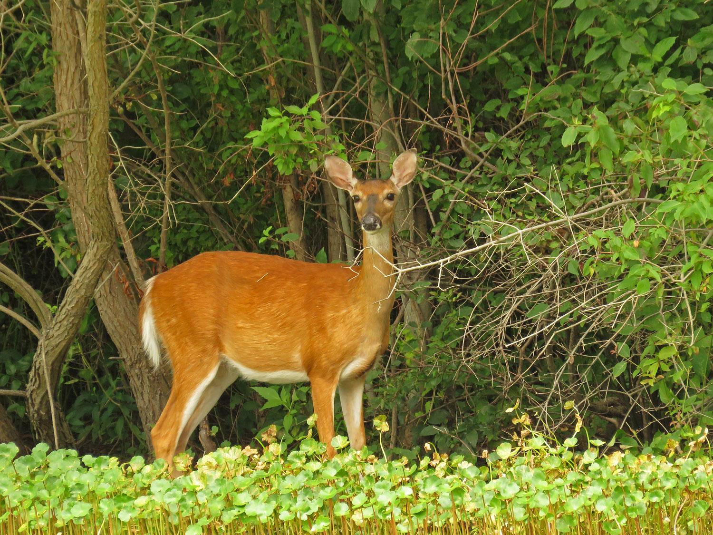 White-tailed deer, Mt. Loretto Unique Area, Staten Island, August 11, 2017