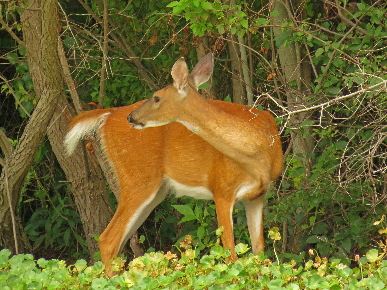 Deer 1500 8-11-2017 089P.jpg