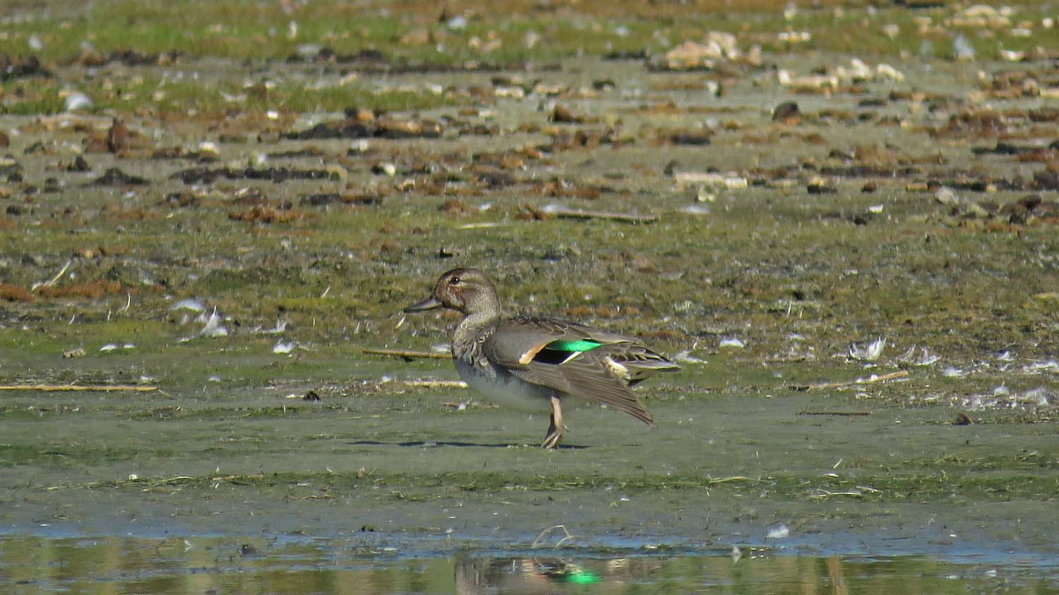 I was able to see this female green-winged teal, plus another lady, at Jamaica Bay Wildlife Refuge on October 18, 2017.