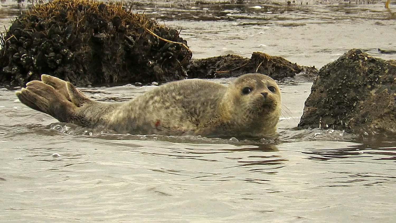 Harbor seal, Great Kills mudflats, Staten Island, February 6, 2018