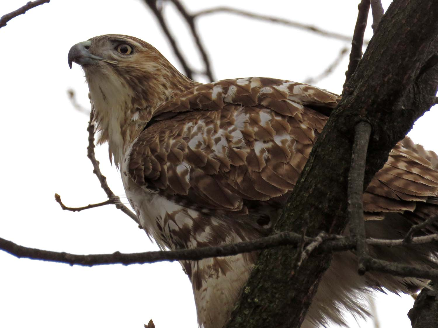 Juvenile red-tailed hawk, Central Park, January 17