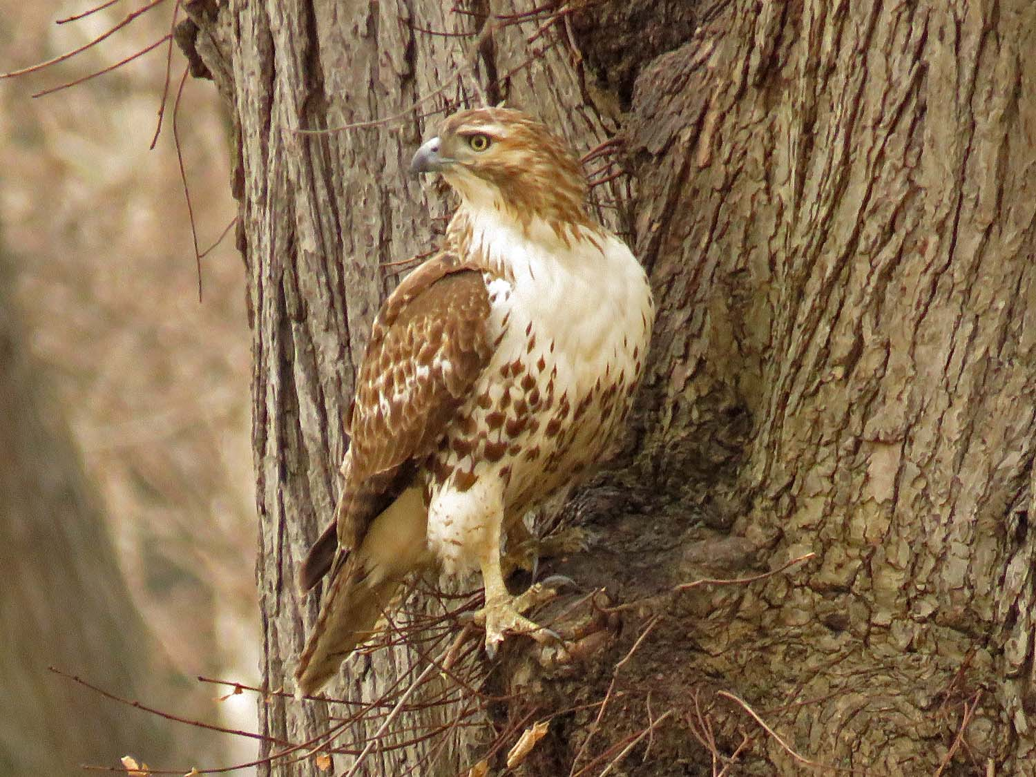 Juvenile red-tailed hawk, Cherry Hill, Central Park, January 20