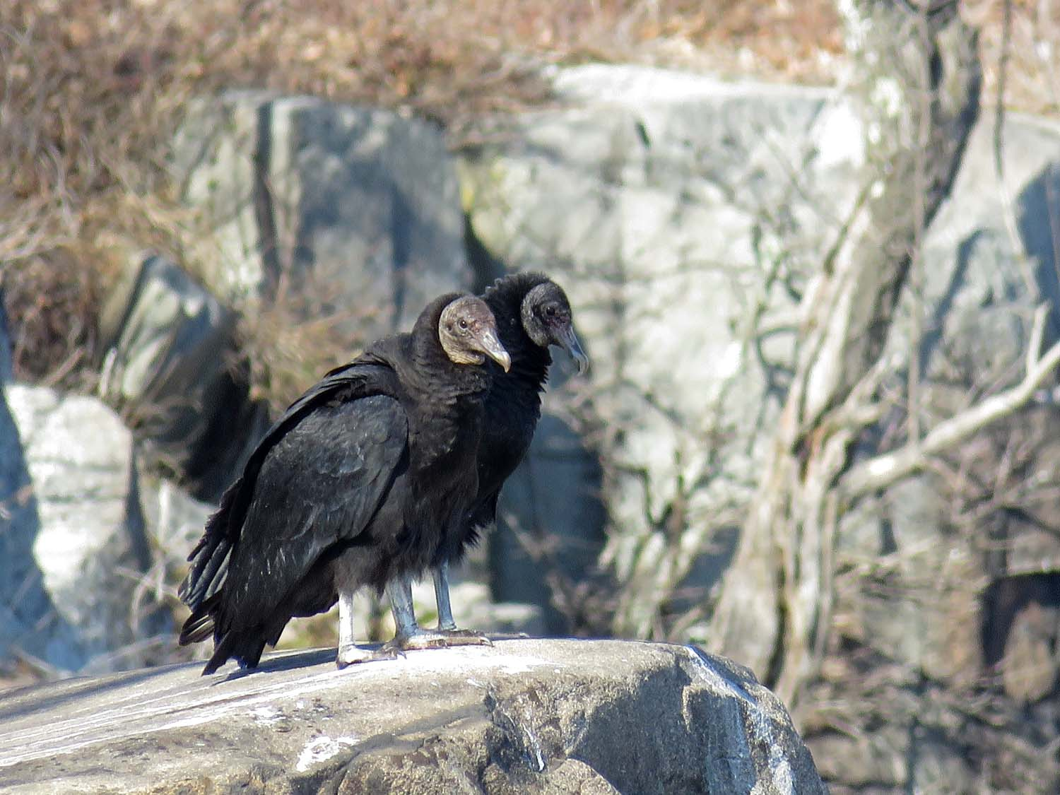 Black vultures, State Line Lookout, Palisades Interstate Park, March 6, 2018