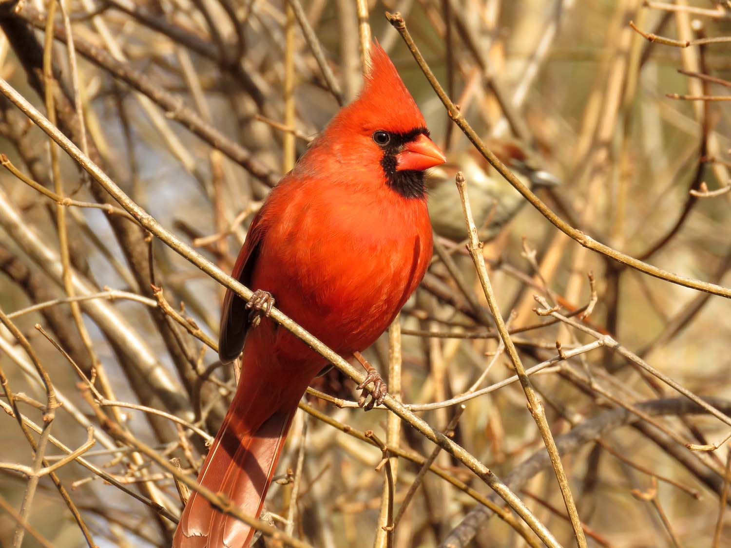 Northern cardinal, March 13, 2018