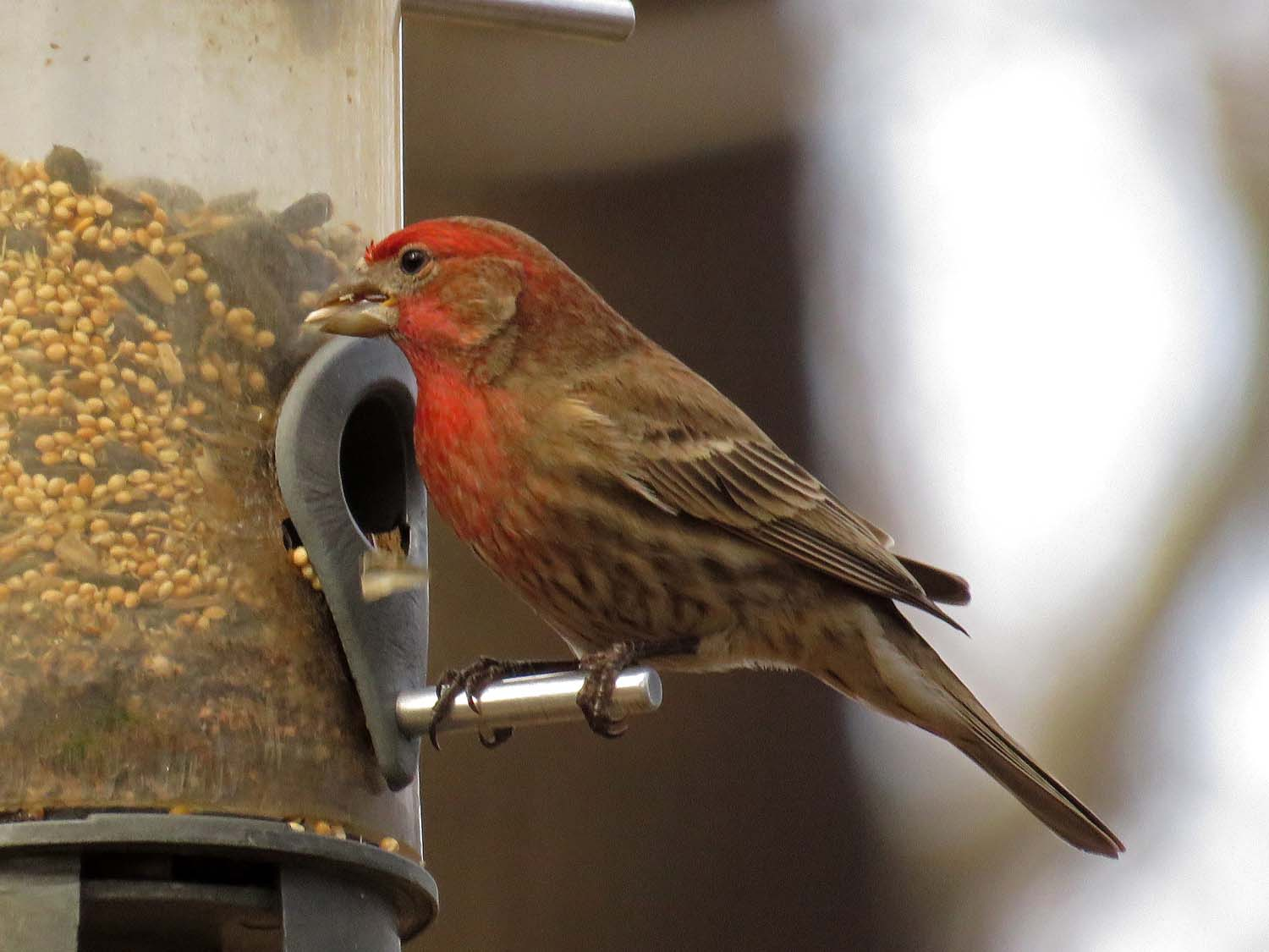 Male house finch, Central Park, March 13, 2018