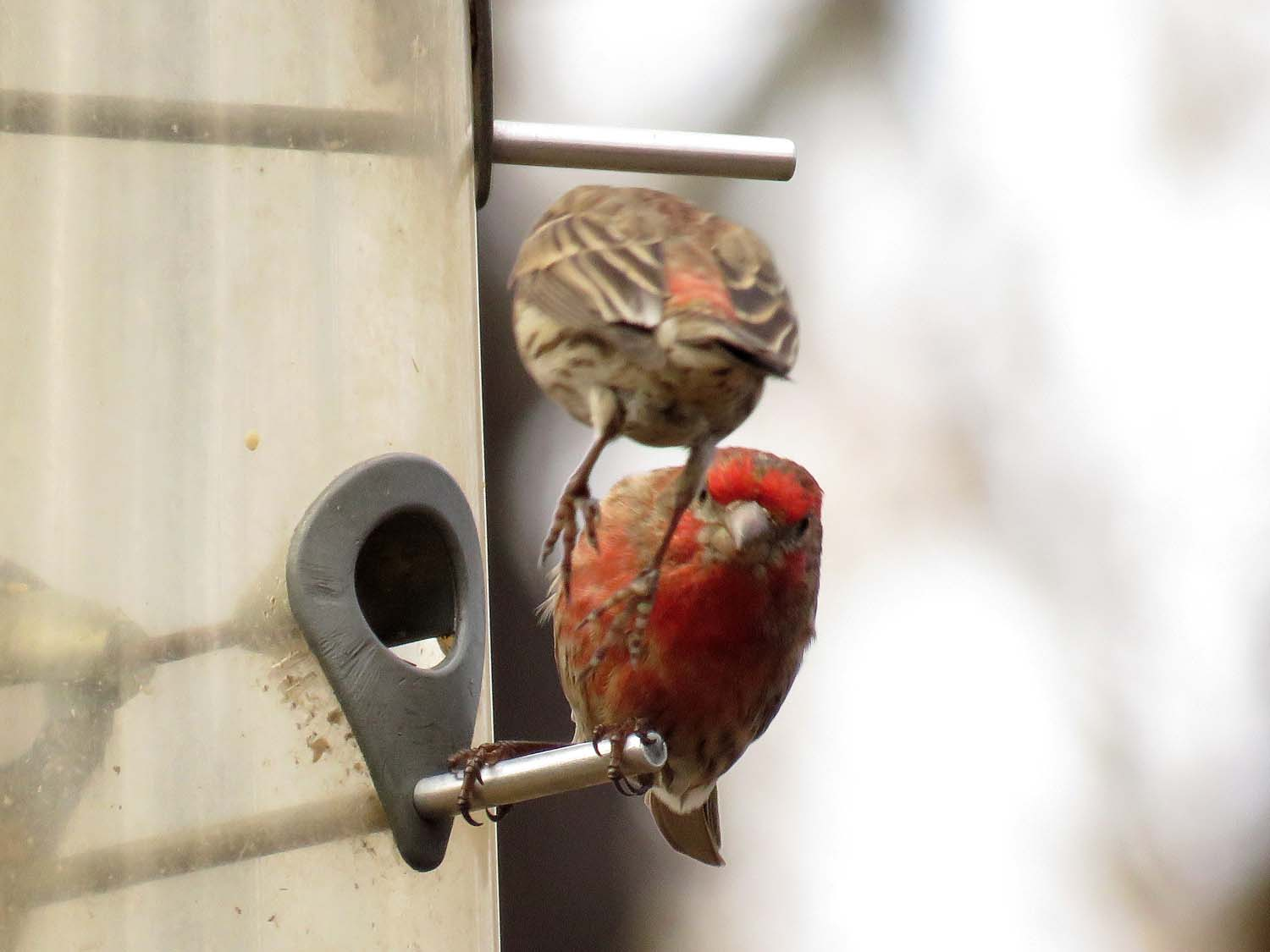 Acrobatic house finches, Central Park, March 14, 2018