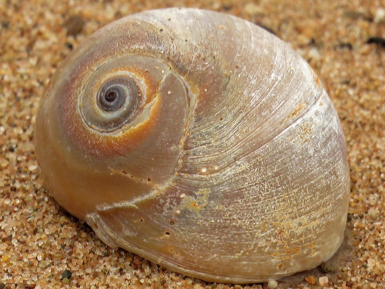 Sharkeye snail shell, Staten Island, February 6, 2018