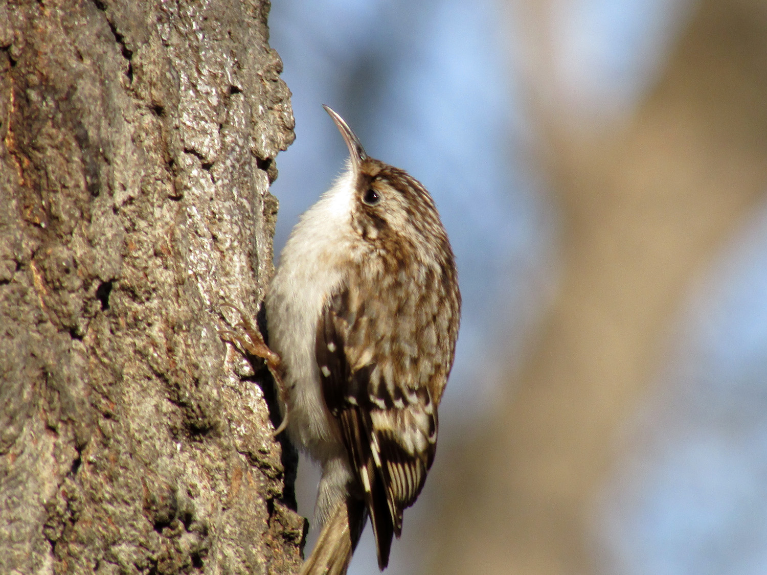 Brown creeper, Central Park, January 19, 2014