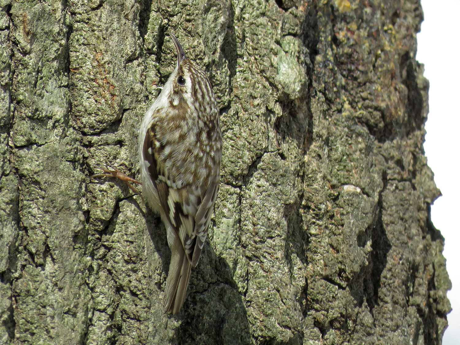 Brown creeper, Central Park, March 23, 2018