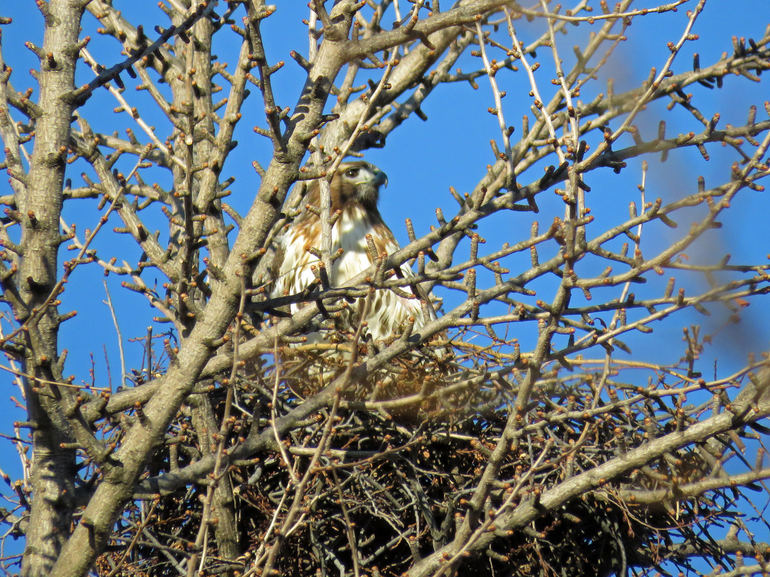Dora on the nest, March 24