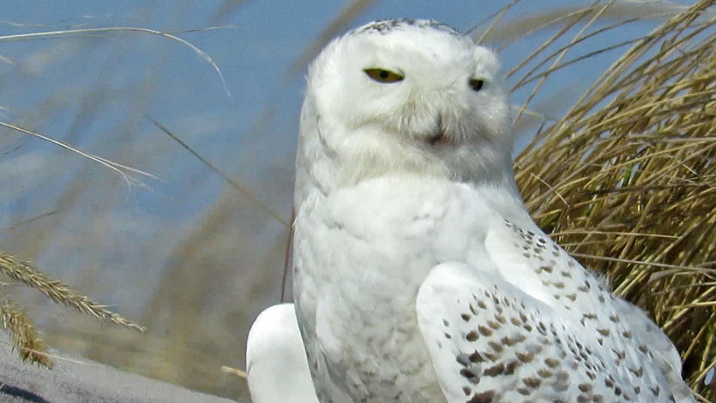 Snowy Owl 1500 3-18-2018 108A.jpg